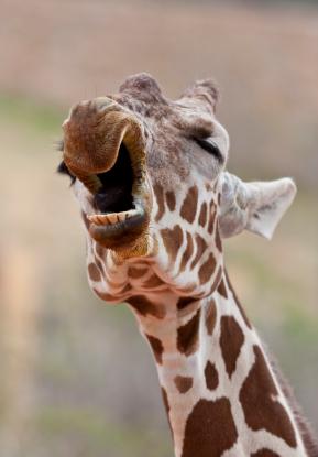 Tom the Goofy Giraffe