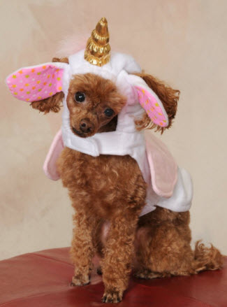 Toy poodle dressed as a unicorn
