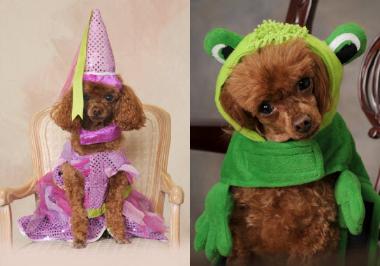 Toy poodle in princess and frog costumes